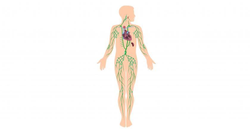 https://cdn.medme.pl/zdjecie/6683,840,440,1/uk%C5%82ad+limfatyczny.jpg