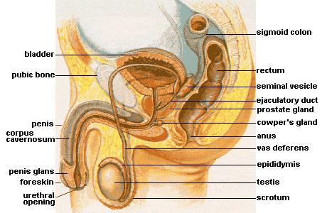 Мужская половая система bladder— мочевой пузырь; pubic bone— лобковая кость; penis— половой член; corpus cavernosum— пещеристое тело; penis glans— головка члена; praeputium— крайняя плоть; urethral opening— наружное отверстие уретры; sigmoid colon— ободочная кишка; rectum— прямая кишка; seminal vesicle— семенной пузырёк; ejaculatory duct— семявыбрасывающий проток; prostate gland— предстательная железа; cowper's gland— куперова железа; anus— задний проход; vas deferens— семенной канал; epididymis— придаток яичка; testis— яичко; scrotum— мошонка