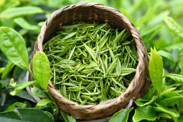 Выращивание зеленого чая