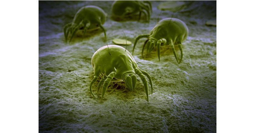 Аллергия на клещей домашней пыли - симптомы, тесты и лечение