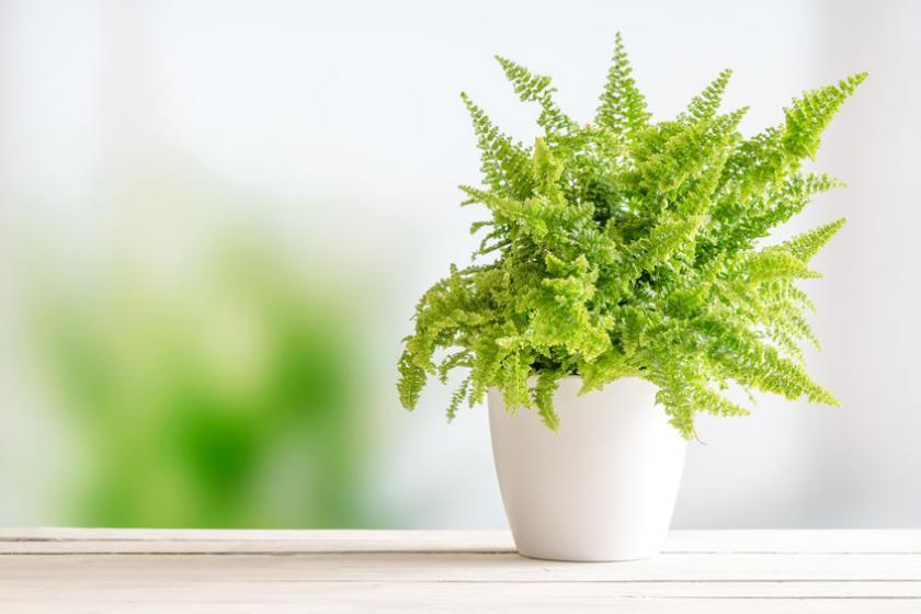 Папротка - растение против смога